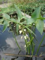 Sagittarius plant in a pond.