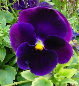 Purple pansy.